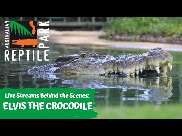 FEEDING ELVIS THE CROCODILE (GO INSIDE HIS ENCLOSURE!)   AUSTRALIAN REPTILE PARK