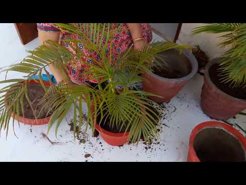 Areca Palm || How And When To Repot Areca Palm