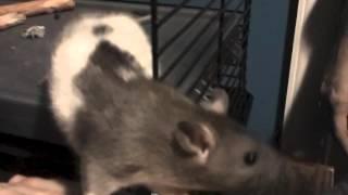 Pet Rat Vlog 1