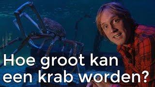 Hoe groot kan een krab worden? | Het Klokhuis
