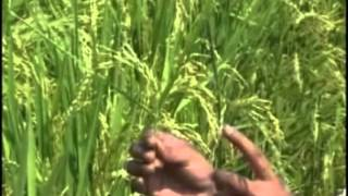 Hybrid Rice Seed Production technology in telugu.mp4