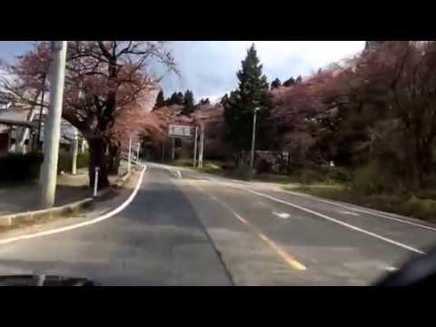 桜 290号線 村杉温泉 shibata niigata sakura