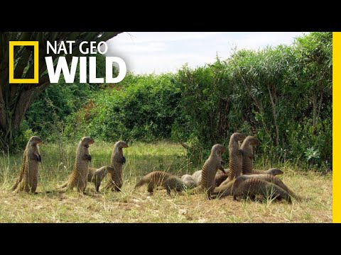 Mongooses Stick Together For Survival | Nat Geo Wild