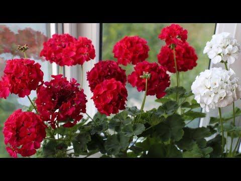 Пеларгония зональная. Как добиться пышного цветения.
