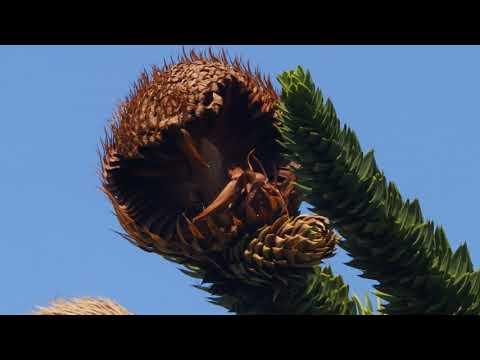 Araucaria araucana @ Ostiglia IT