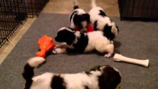 Akc Parti Poodle Puppies For Sale - Ready October, 2014