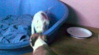 Pit Bull Terrier Lupta :))