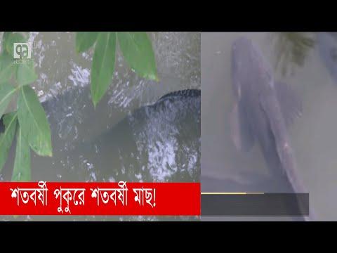 শতবর্ষী গজার মাছ দেখতে মানুষের ভিড়! | Barishal | News | Ekattor TV
