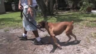 Dog Training Tips : How To Leash-train A Dog