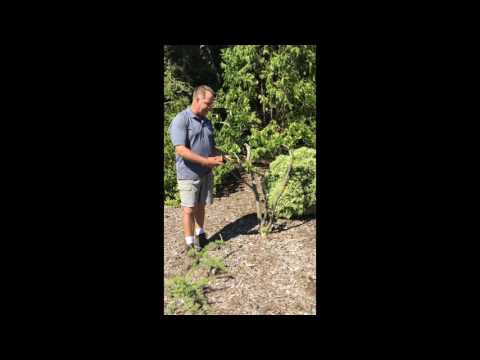 False Cypress Planting