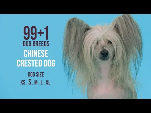 Chinese Crested Dog / 99+1 Dog Breeds