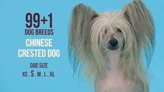 Chinese Crested Dog / 99+1 Dog Breeds
