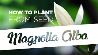 How to plant Magnolia Alba from seed (5 easy steps)