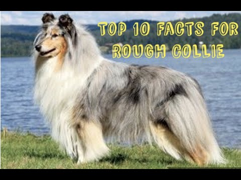 Rough Collie   Best Dog Breed   Top Facts About Rough Collie in Hindi   For Puppies- 9548400013☎️