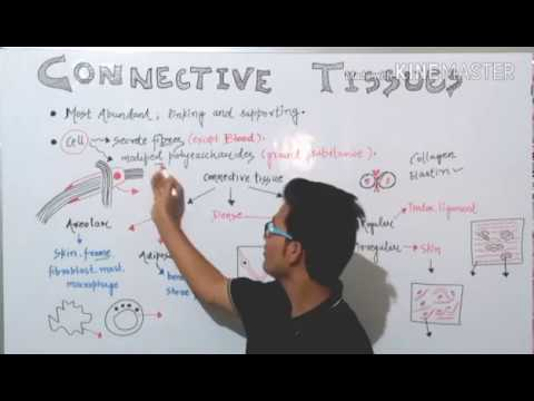 Loose(areolar & adipose)and dense(regular & irregular) connective tissues in detail.