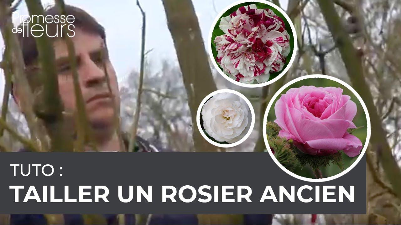 Comment tailler des rosiers anciens vid o pas pas avec un jardinier expert youtube - Comment tailler des rosiers ...