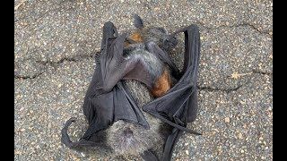 Rescuing an orphan flying-fox:  this is Sultana