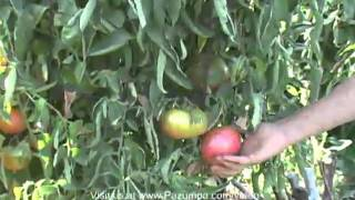Growing a Variety of Tomatoes