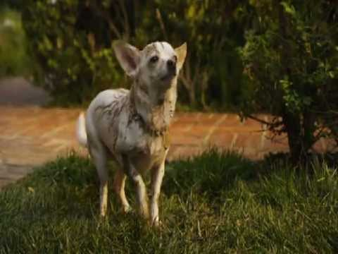 Beverly Hills Chihuahua 2(2011)-The family just got bigger!!! streaming vf
