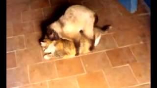 Спаривание кошек, было страшно пройти