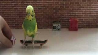 Trieste Visier's 5 step beginers course -how to train your budgies to skateboard