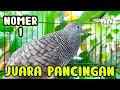 Perkutut Lokal Juara Pancingan  Mp3 - Mp4 Download
