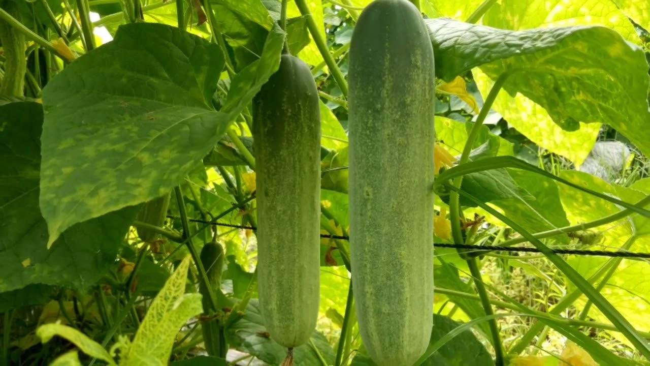 Download ปลูกแตงกวารายได้ดี Ep.7  ชมสวนแตงกวา Growing Cucumbers Make Money.