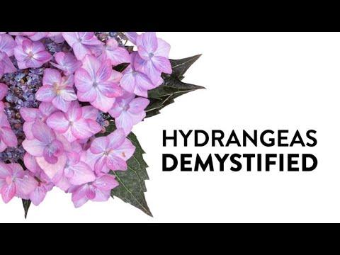 Hydrangeas Demystified - Everything You Need To Know About Hydrangeas
