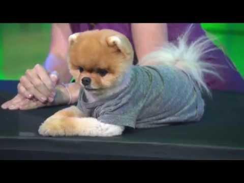 Watch Jiff the Pomeranian do his best tricks on Good Day LA