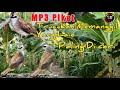Suara Pikat Jitu Trucukan Memanggil Yang Lain  Mp3 - Mp4 Download