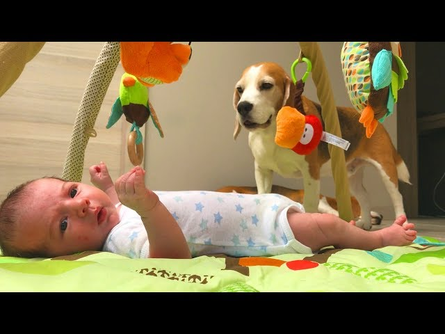 Dog Steals Baby's Socks!  Adorable Baby Liam and Louie The Beagle