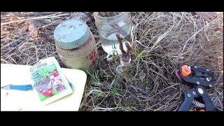 Прививка плодовых деревьев. Хороший, простой, надежный способ. Прививка груши весной.
