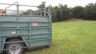 deplacement des vaches limousine