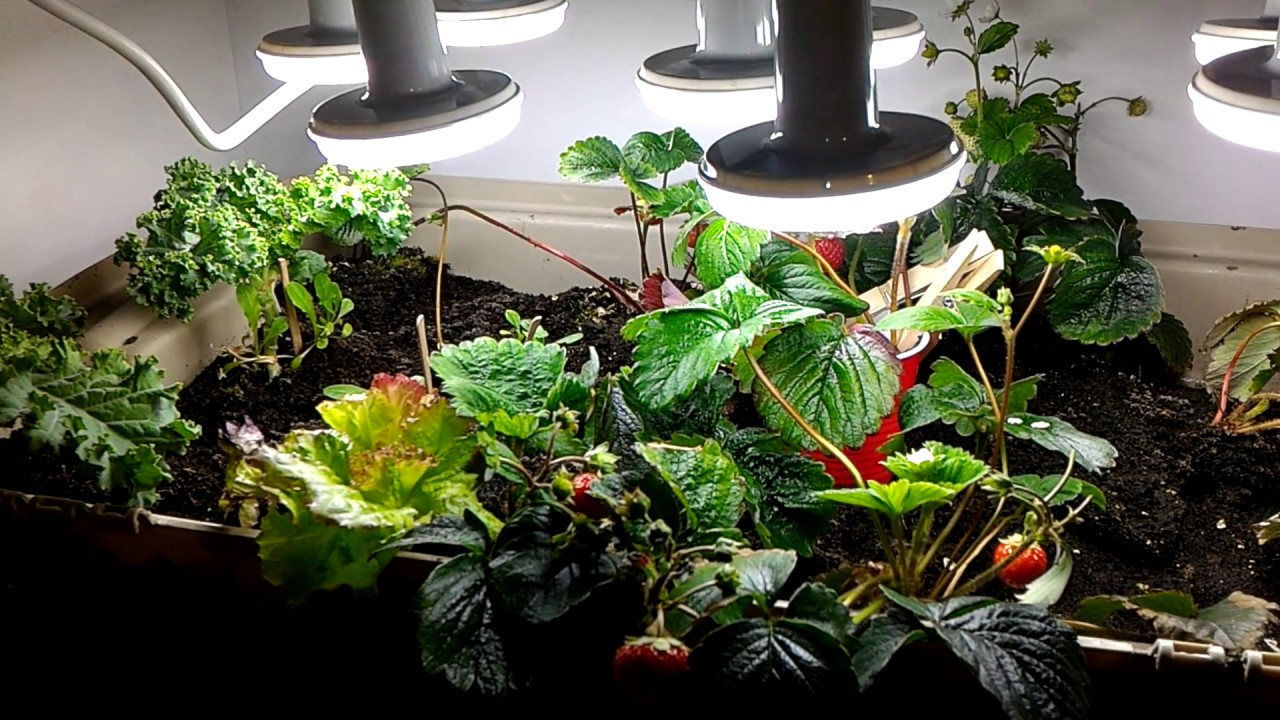 Growing Strawberries And Vegetables In The Basement During The
