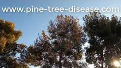 Pine Tree Dead Needles Queen Creek AZ  480 969 8808 Warner's Tree Surgery 232018