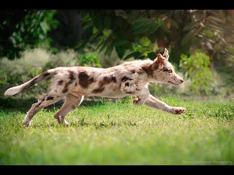 Border collie Migel  - Frisbee & tricks (3 month)