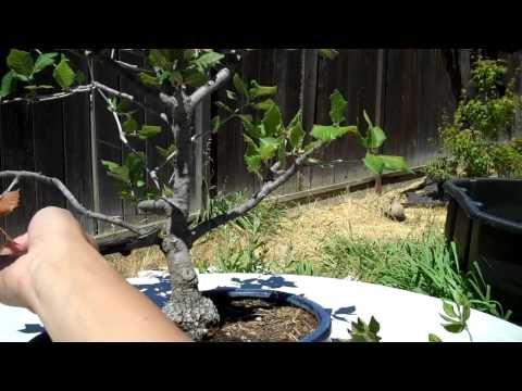 California Oak Preparation For Bonsai Part 1 Pruning