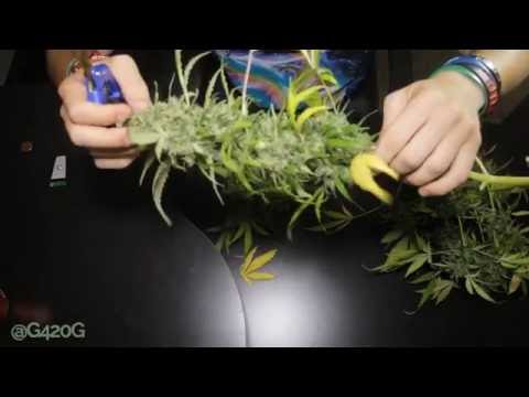 Grow Vlog Day 80 How I Harvest my Cannabis Plants