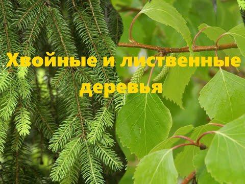 Лиственные и хвойные деревья. Детям о деревьях