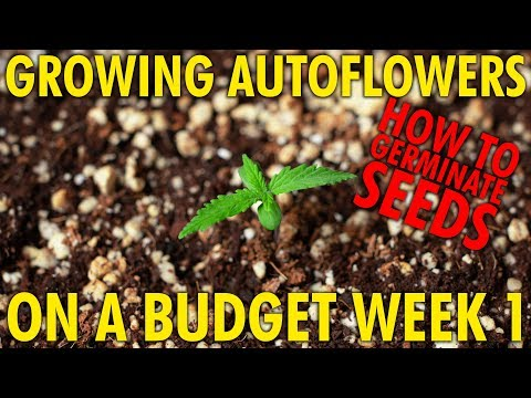 How to Germinate Seeds - Budget White Widow Autoflower Grow Week 1