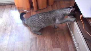 Кошка открывает ящик, новая порода кошек