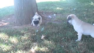 Pug Puppies For Sale In Pa.