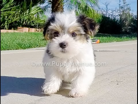 Stella Is Our Adorable Parti Morkie Hybrid Female Puppy