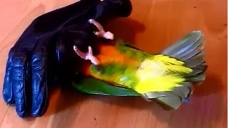 Senegal parrot dies over and over and over