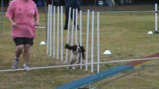 English Springer Spaniel At Goulburn Agility Ankc 29/30 May, 2010