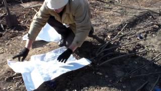 Инжир Подготовка к укрытию(Как подготовить кусты инжира к укрытию. Комментируйте, ставьте лайки., 2014-11-04T14:42:51.000Z)