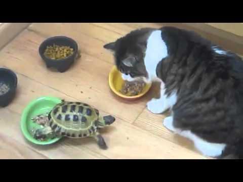 agresivní turbo želva honí kočku aggressive turbo turtle chasing