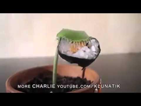 Rùng rợn cây ăn thịt hút thuốc và ăn bánh sushi