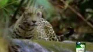Jaguar Hunts Peccary/Caiman