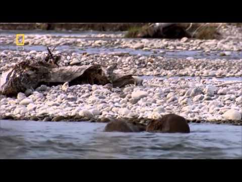 Как бобры строят плотины видео